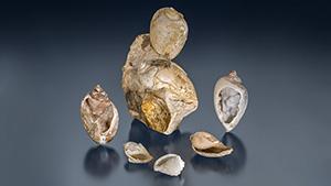 化石化したドゥルージーシェル