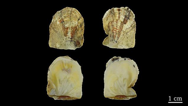Two valves of Pinctada maculata shell