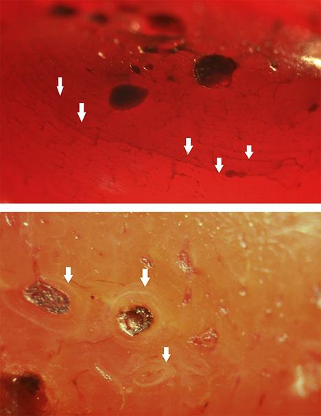 Dyed bone displays subparallel veins