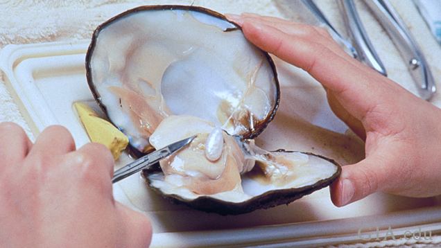 Extracting a fancy-shaped cultured pearl from a mollusk