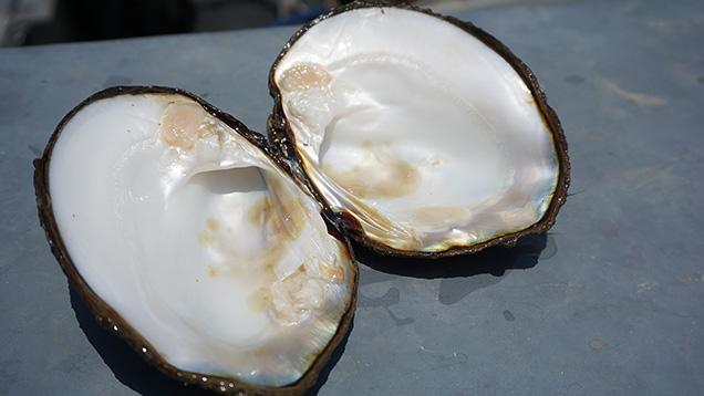 開いた淡水産貝の貝殻