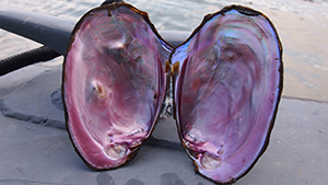 Large open mussel shell with pink interior