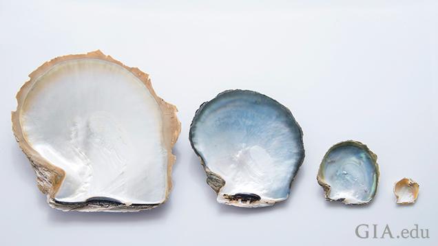 Pinctada species shells