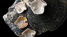 Four Pinctada maculata bead-cultured blister pearls