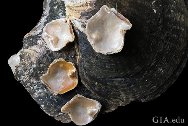 四颗斑珠母贝有核养殖附贝珍珠