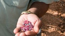 Since rubies were discovered at Winza in November of 2007, large numbers of miners have flooded the area. As with many new finds, miners usually try to find the gemstones while recovery is easiest and most profitable.