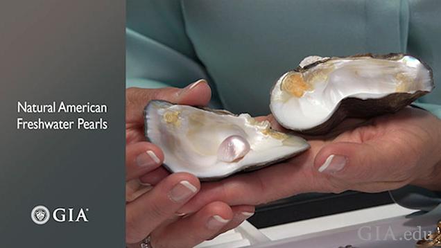 手中一个打开的蚌壳展示天然珍珠。
