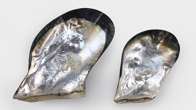 Cultured half-pearls from <i>Pteria penguin</i> mollusks