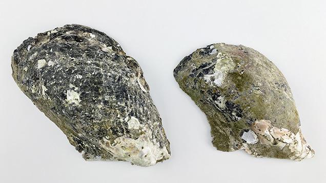 Size classes of <i>Pteria penguin</i> pearl mollusks