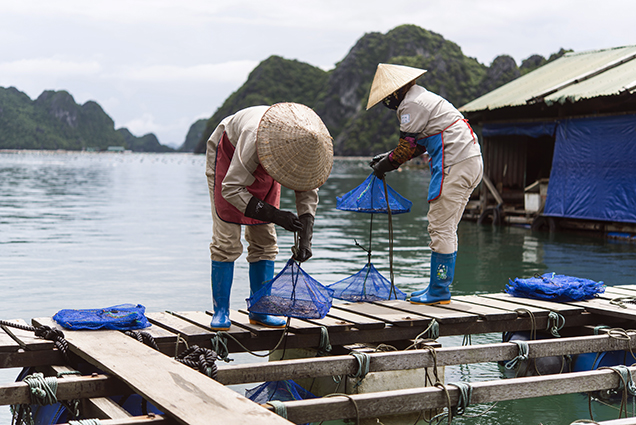 Placing <em>Pinctada radiata</em> mollusks in Ha Long Bay