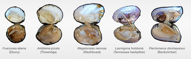 Freshwater mollusks from Kentucky Lake