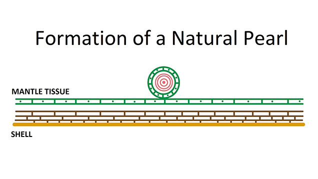 Diagram of natural cyst (whole) pearl formation.