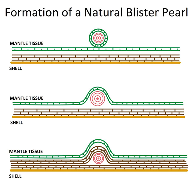Diagram of natural blister pearl formation.