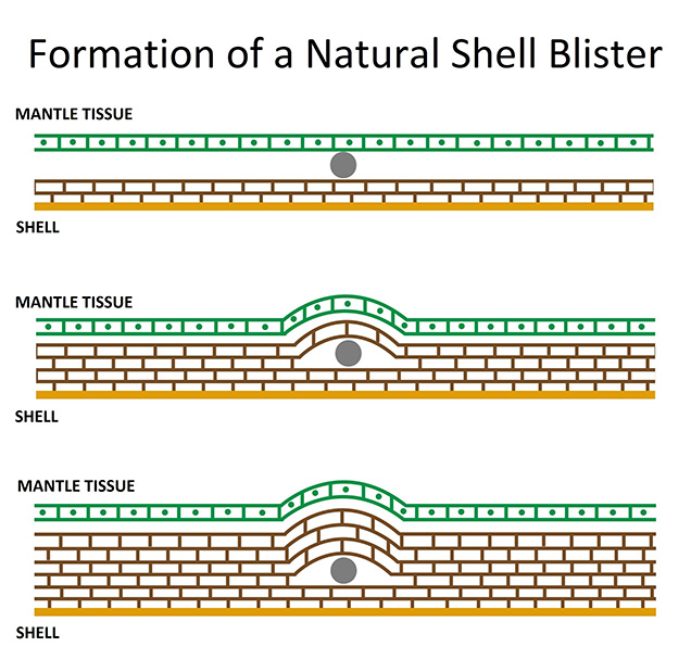 Diagram of natural shell blister formation.