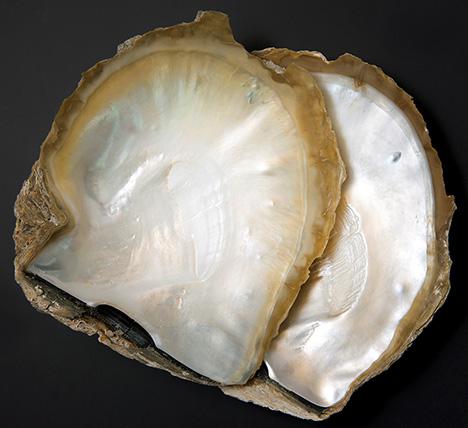 Pinctada maxima shells