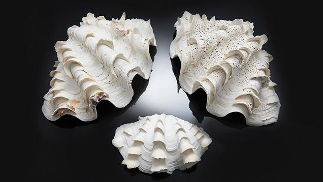 Tridacna shells