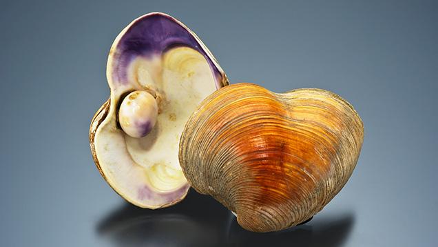 Quahog shell and pearl