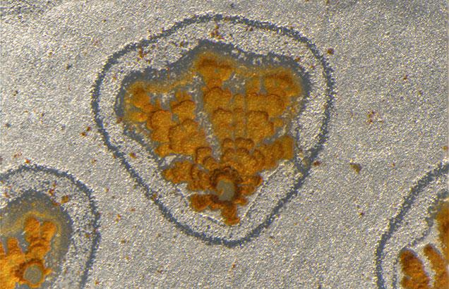 Footprint-shaped iron hydroxide deposit in quartz