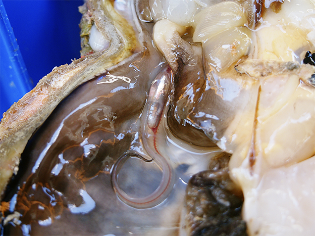 Living pearlfish that was found inside a P. maxima shell.