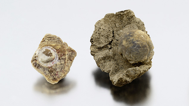 Fossilized shell blister (left) and blister pearl (right).
