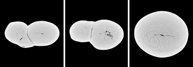 μ-CT slices in three directions of a natural <i>P. maxima</i> sample