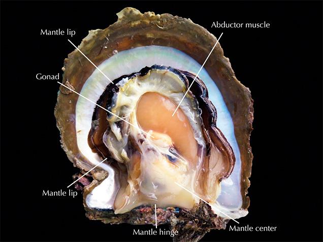 Parts of the <i>P. maxima</i> body