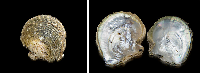 Pinctada mazatlanica shells.