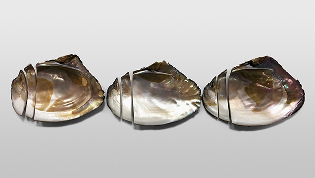 Three shells from Lake Kasumigaura sliced for chemical composition analysis