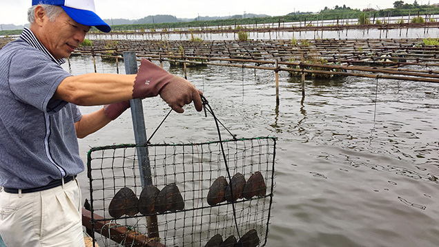 Shells placed in cage nets for cultivation at Lake Kasumigaura