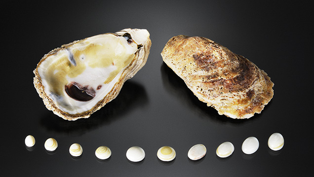 Shells cut into cabochons, along with an intact shell.
