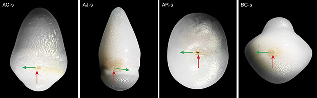 Figure 15. Spot defects observed on Tridacnidae pearls (red arrows) are accompanied by a comet, which indicates the direction of rotation (green arrows). Photos by J.-P. Gauthier.