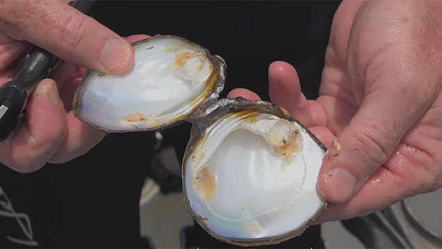 Video of Pearl Harvesting with the American Pearl Company