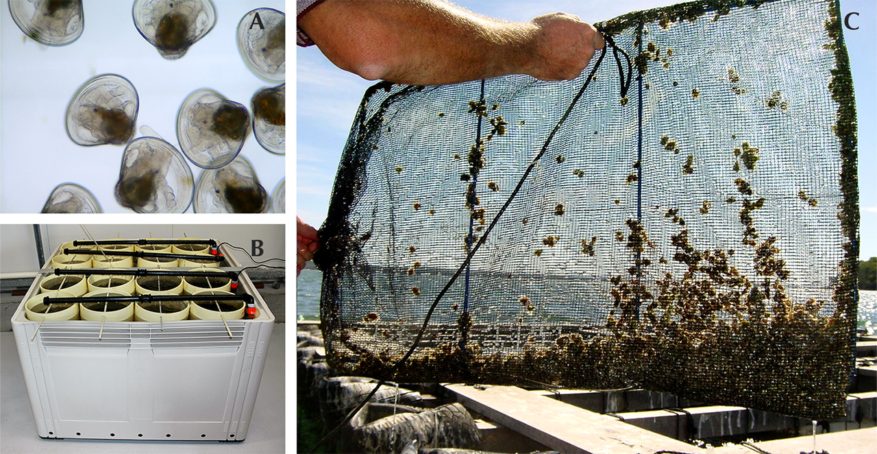 Australian Pinctada imbricata fucata larvae and spat