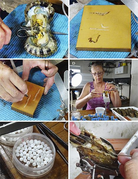 Steps involved in seeding Australian akoya pearls