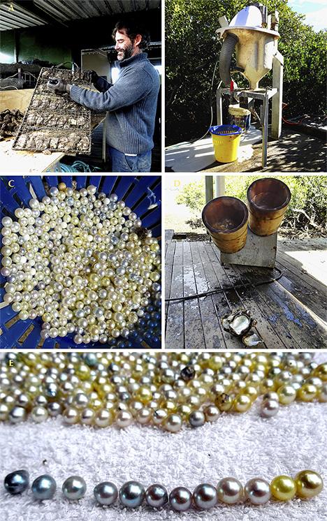 Steps in harvesting Australian akoya pearls