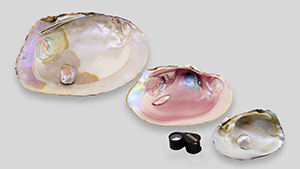 Three freshwater pearls attached to their host shells
