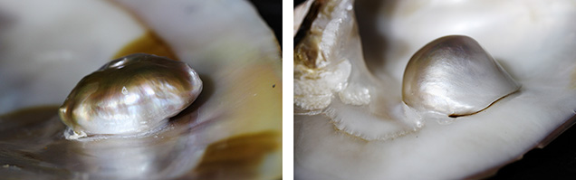 Close-up images of the freshwater blister pearls