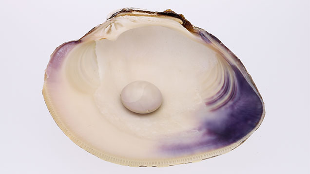 A white and purple pearl sitting in half of its shell.